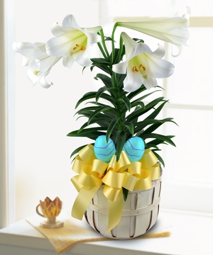 Beautiful white blooms adorn this traditional Easter plant.