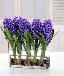 Sweet Hyacinth